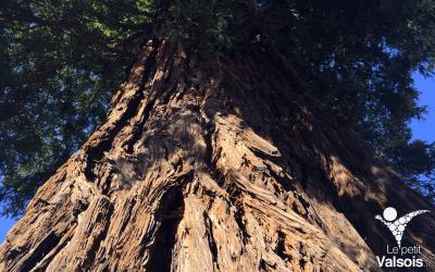 Le Séquoia de Vals-les-Bains «Red Wood» classé «arbre remarquable de France»