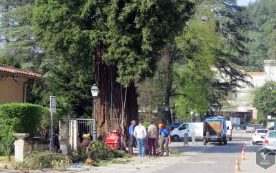 Retrait sur rappel guidé de deux charpentières sur le grand Séquoia